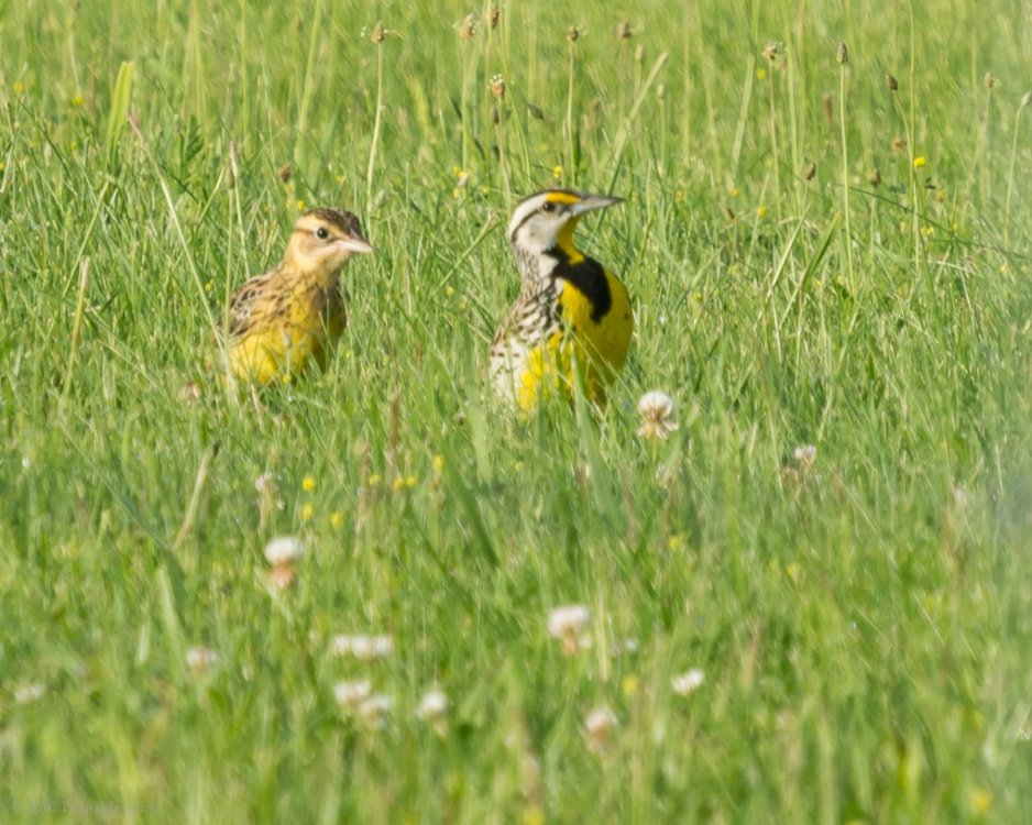 Eastern Meadowlark and juv CAir-7229091.jpg