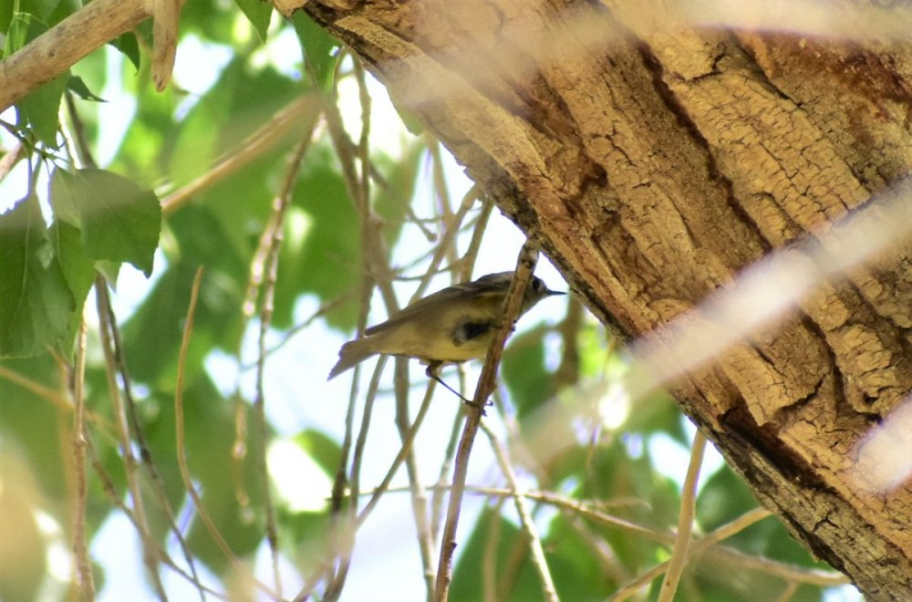 Ruby-crowned Kinglet 4.JPG