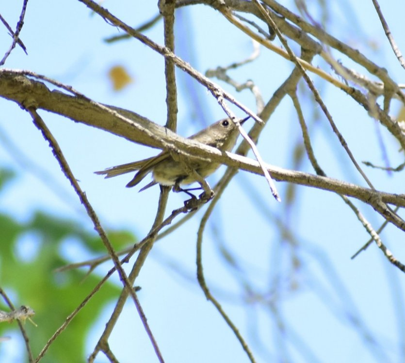 Ruby-crowned Kinglet 8.JPG