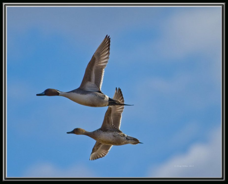 Pintails.jpg