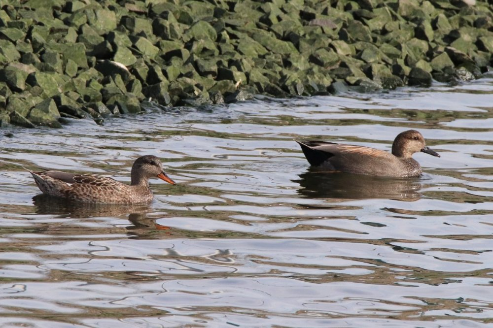 Gadwall, male & female, Liberty State Park, NJ.JPG