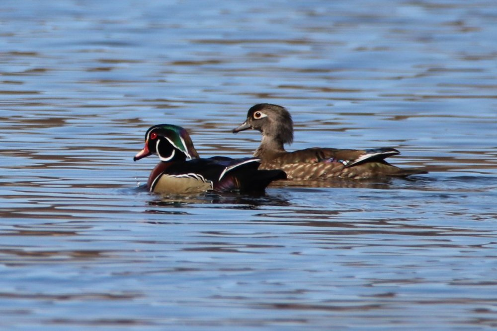 Wood duck - male & female - Celery Farm, NJ.JPG